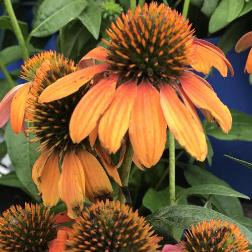 "Full Sun • Grows 20-26"" tall & 18-24"" wide • Zones 4-8 • Prairie Gardens, Champaign IL"