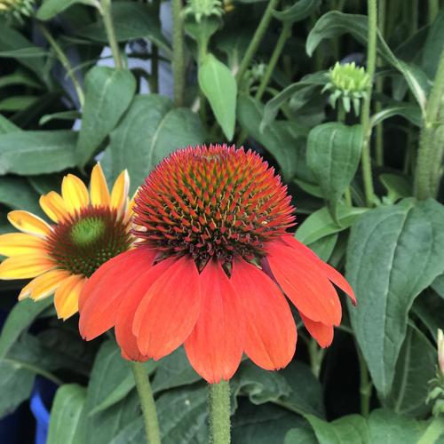 "Full Sun • Grows 18-24"" tall & 15-28"" wide • Zones 4-8 • Prairie Gardens, Champaign IL"