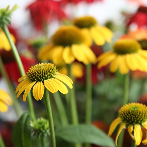 "Full Sun • Grows 16-18"" tall & 12-16"" wide • Zones 4-8 • Prairie Gardens, Champaign IL"