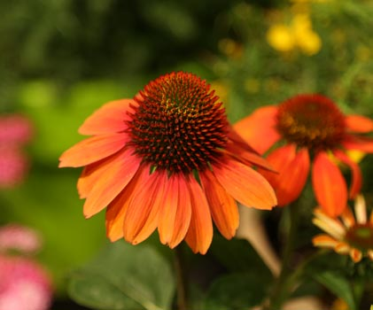 "Full Sun • Grows 20-26"" tall & 18-24"" wide • Zones 4-8 • photo source: • Prairie Gardens, Champaign IL"