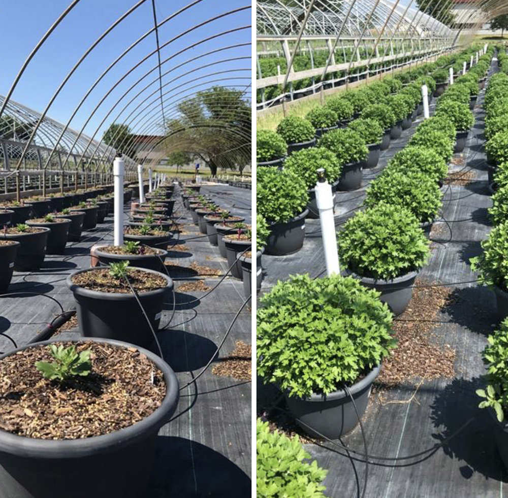 Mums just planted by Prairie Gardens Growers (left); Mums in Prairie Gardens greenhouses in mid-july (right).