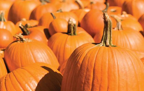 Live pumpkins at Prairie Gardens in Champaign, IL