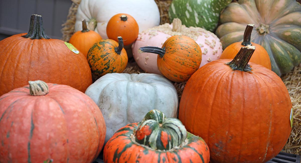 Pumpkins at Prairie Gardens, Champaign IL