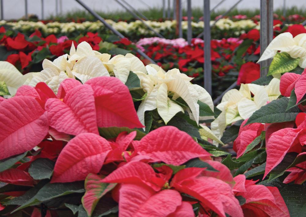 Poinsettias, available at Prairie Gardens, Champaign IL