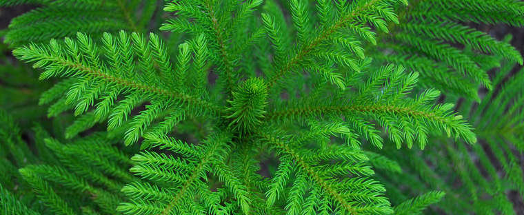 Norfolk Pine available at  Prairie Gardens , Champaign IL •  Image Source
