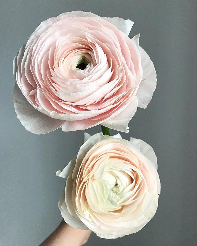 2 c'est mieux:) #renoncules #blush