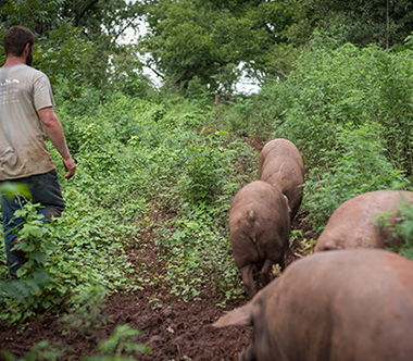La Quercia - Raised by Iberian PasturesIberian pigs roam freely over acres of fields and woods in Georgia. They forage on pecans and peanuts, and are raised in accordance with Certified Humane standards, with no use of antibiotics or GMO feed.