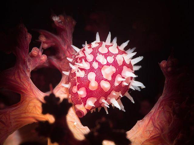 #tulambenmacro #diving #scubadiving #scuba #underwaterart #photography #underwaterphotography #snoot #snooting #macro #underwatermacrophotography #divebali #divetulamben #bali #tulamben #olympus #seahorse #natural #nature #animalsofinstagram #ocean #oceanphotography #underwatermacrophotography #underwatermacro #underwaterworld #uwphoto