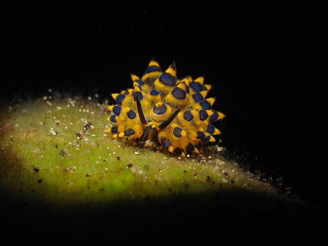 #nudi #nudibranch #nudibranchs #nudi #tulambenmacro #diving #scubadiving #scuba #underwaterart #photography #underwaterphotography #snoot #snooting #macro #underwatermacrophotography #divebali #divetulamben #bali #tulamben #olympus #seahorse #natural #nature #animalsofinstagram #ocean #oceanphotography #underwatermacrophotography #underwatermacro #underwaterworld #uwphoto
