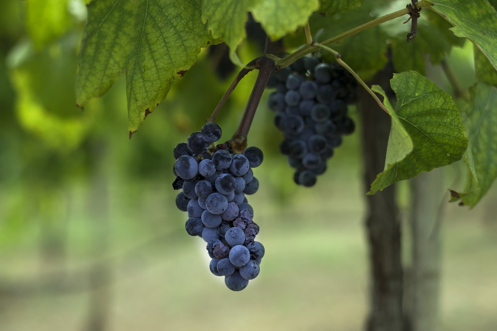 Resveratrol is found within grapes.
