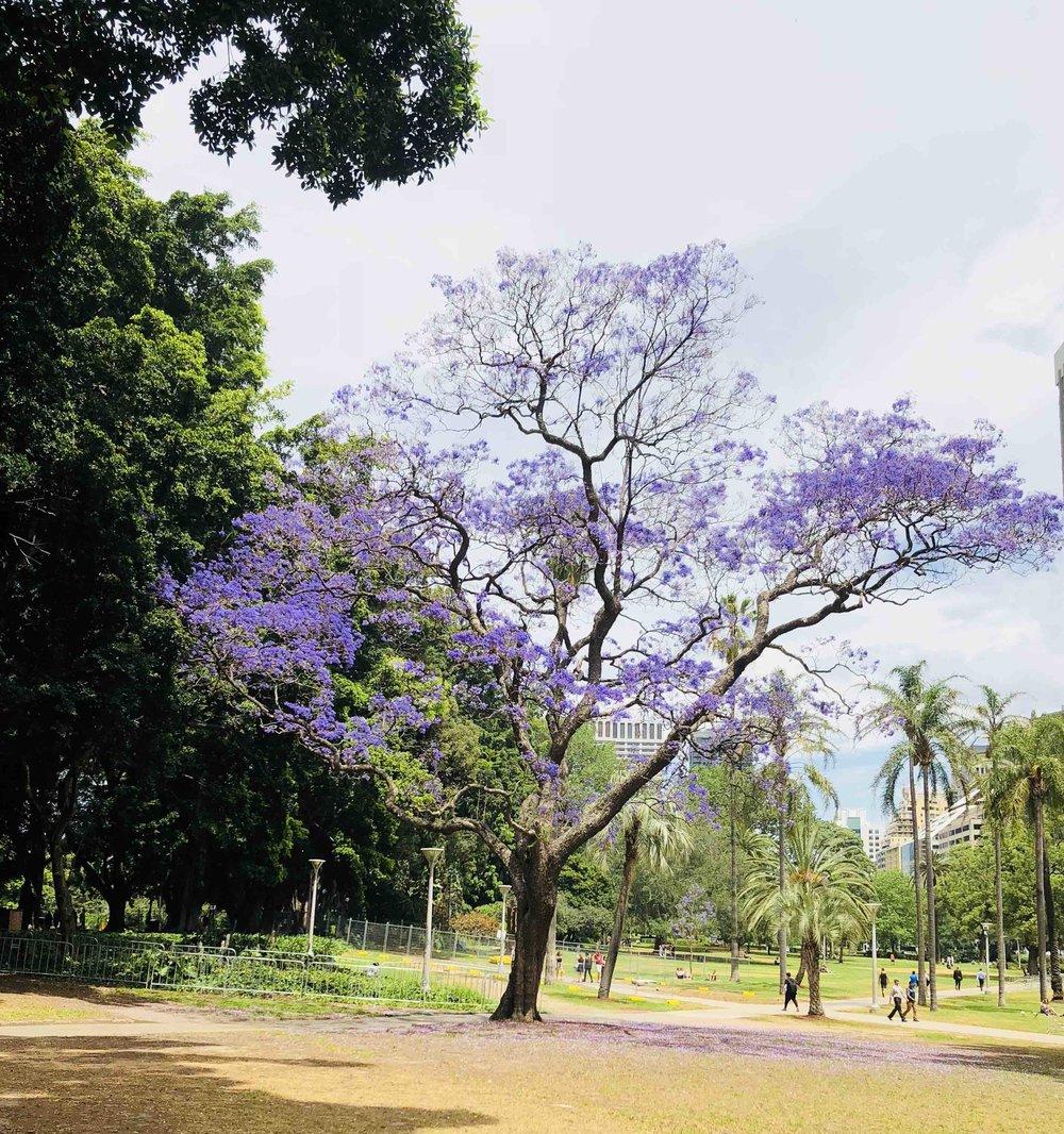 Jacaranda tree.jpg