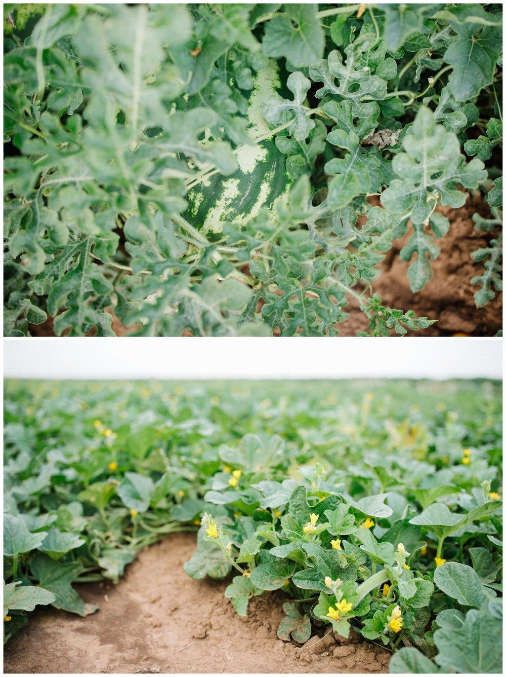 Reimer Farms__Lubbock Texas produce garden_04.jpg
