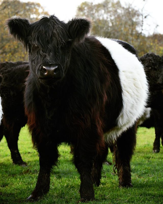 Even though we were on a highland cattle tour in Scotland, I also got to fulfill one of my dreams and I met these gorgeous belted galloways live for the first time 😍 Such an interesting breed and they look beyond sweet! #beltedgalloway #beltie #cow #lehmä #lovehighlands #ratiaranch #scotland #lifeonthefarm #countrylifestyle1 #instanaturefriends_ #rsa_nature #rsa_rural #rural_love #pocket_farms #trb_country #ig_countryside #country_features #exclusive_animals #nature_cuties #renegade_rural #farmlife #maatila #thedodo