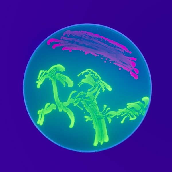"Where is the Art is Bio Art?   Jascha Hoffman includes the current SVA Flatiron Gallery exhibition in his  NY Times  column,  The Scan , a monthly culture column for the Science Times. The exhibition includes work from Art Practice faculty and alumni.    Image: ""Bacterial Nightshade"" by  Richard Walshe  (MFA AP14)"