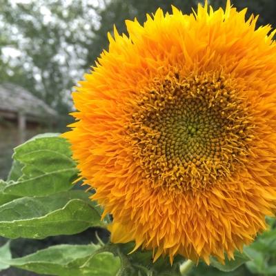 sunflowergardenandcottage.jpg