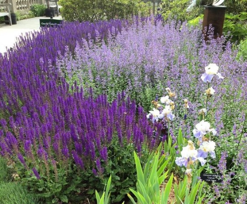 Catmint And Salvia Garden Border amp Cottage
