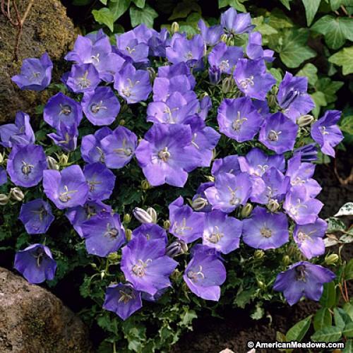 bell flower.jpg