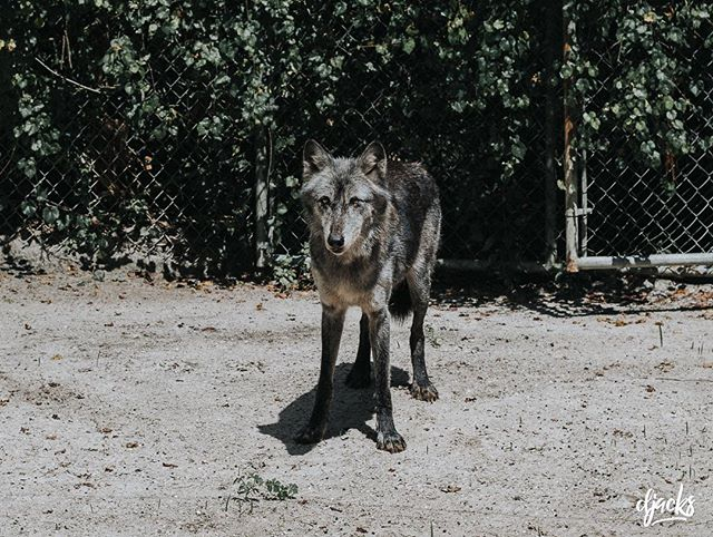 Shy Wolf Sanctuary - Naples, FL  #hybriddog #rescue #animalsanctuary #nature #naples #wolf #wolves
