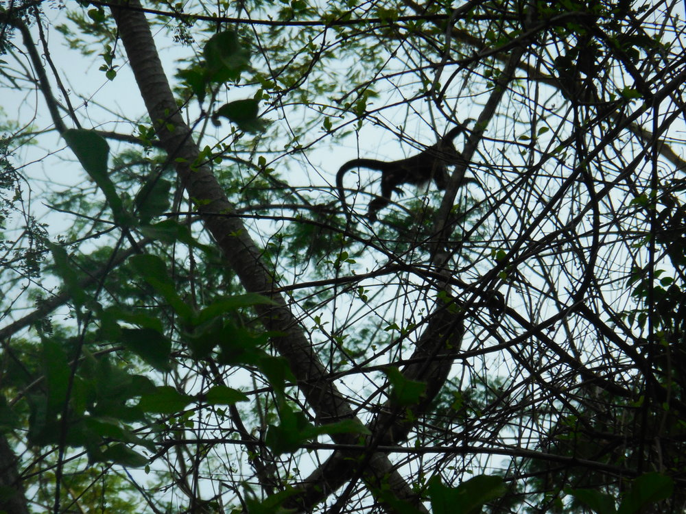 White Faced Monkey, Miramar