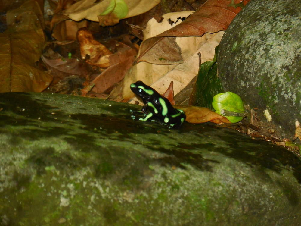 Poison Frog, Cara Cara National Park