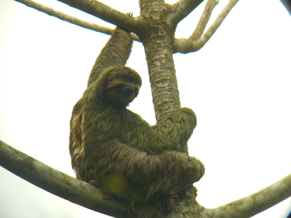 Three Toed Sloth, Manuel Antonio National Park