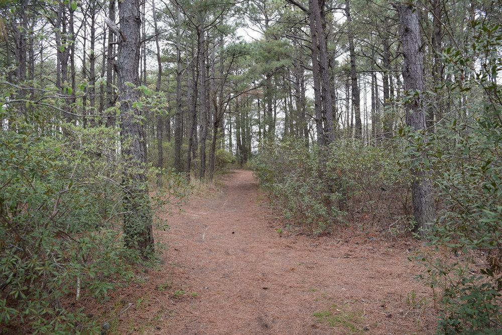 Loblolly pines are some of the only trees that can handle the salty air, and because of the protection they provide, other plants can thrive in the forest on a thin island that is little more than a long sandbar.