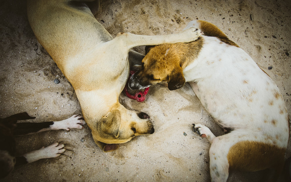 Shelter dogs playing in the sand. All the dogs and cats here at the Caye Caulker Animal Shelter are open for adoption by anyone, including visitors. They are all adorable and friendly and could really do with some good luck if you're ever in the country!