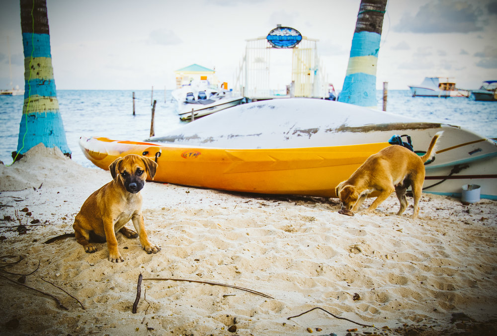 The wild puppies of the Caye. Most of the abandoned and homeless dogs have been taken in by the Caye Caulker Animal Shelter so these little guys here have a home.