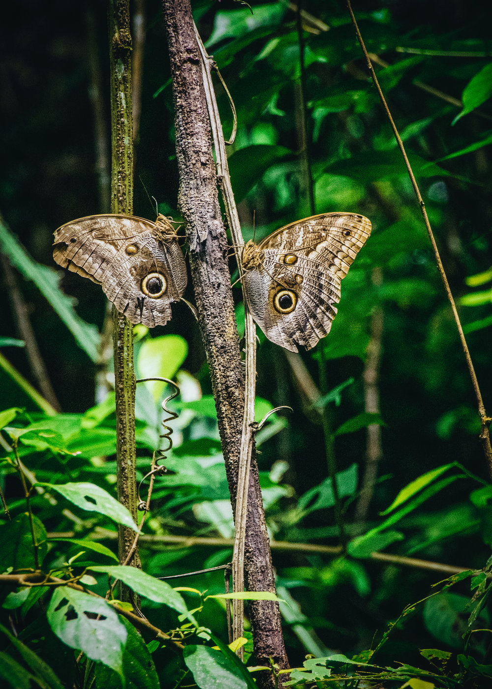 Two Owl Butterflies ( Caligo memnon ) rest in the jungles of Manuel Antonio National Park. We had come to see sloths... Without a lot of luck, that's a difficult thing to do with only an hour to spare and no guide.
