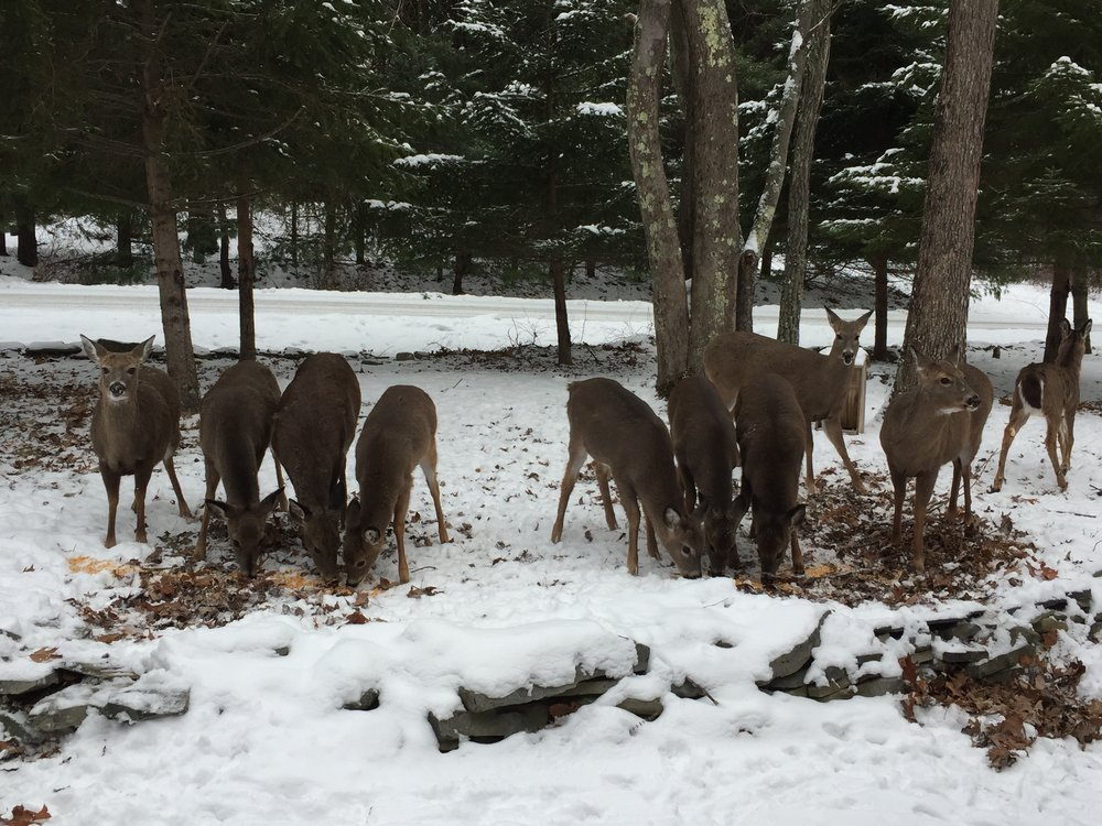 Seriously, there's 11 deer. Here's 10 of them on our front lawn on December 16, 2017.