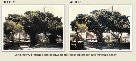 Before and after tree trimming and tree maintenance