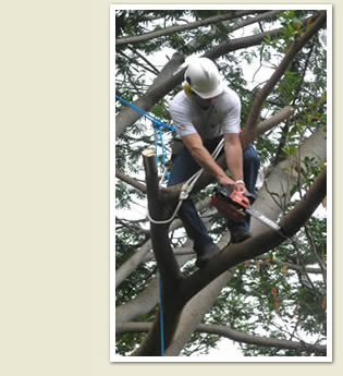 Tree Trimming - Trees of Hawaii, Inc.