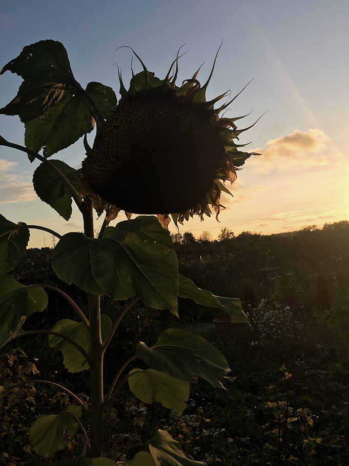 Sleeping sunflower.