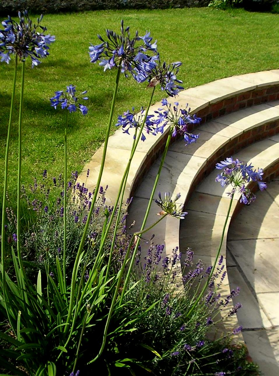 Agapanthus and curved patio.JPG