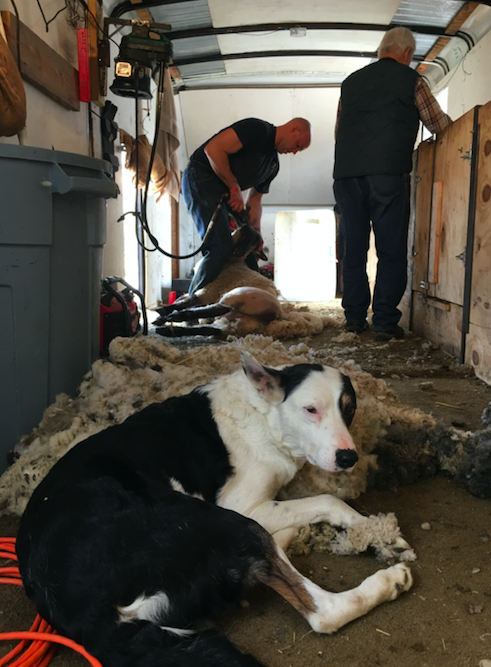 Spring shearing- Steve Kennedy and crew (with a little help from Rhett) got the spring shearing done in record time!