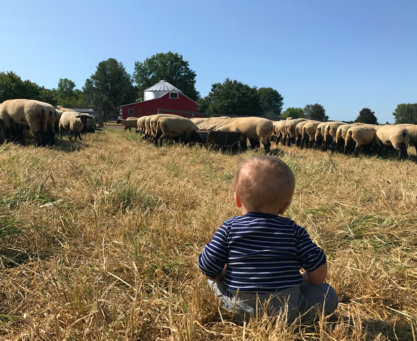Counting Sheep - Helping daddy feed the girls!