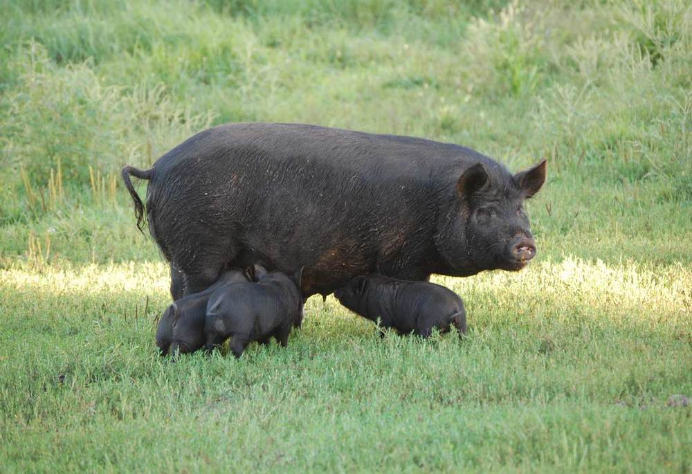 Heritage breed hogs.jpg