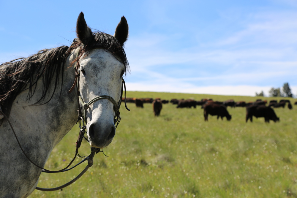 Sieben Livestock - Cascade, MT.JPG