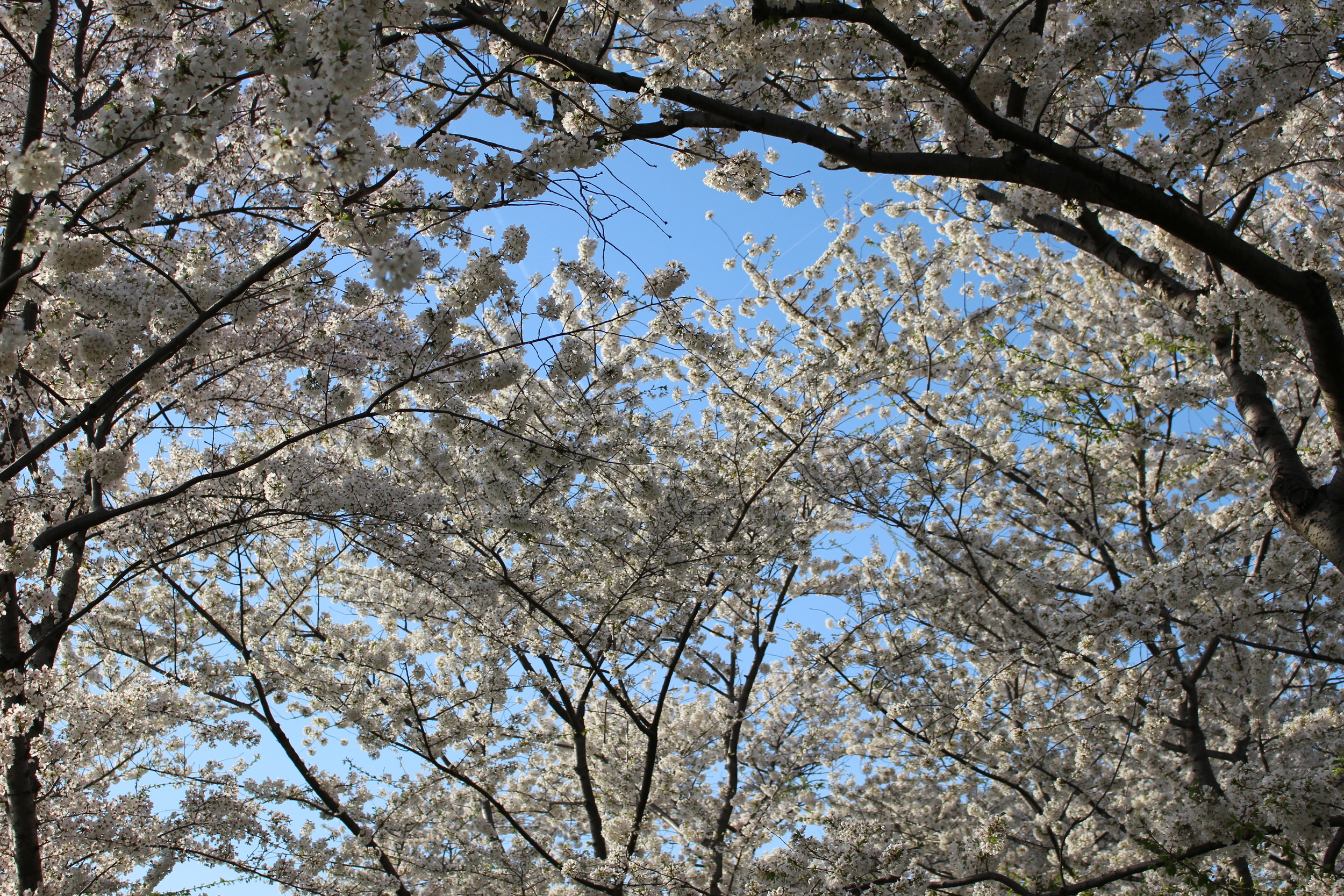 Cherry Blossoms DC 4.13.15 024