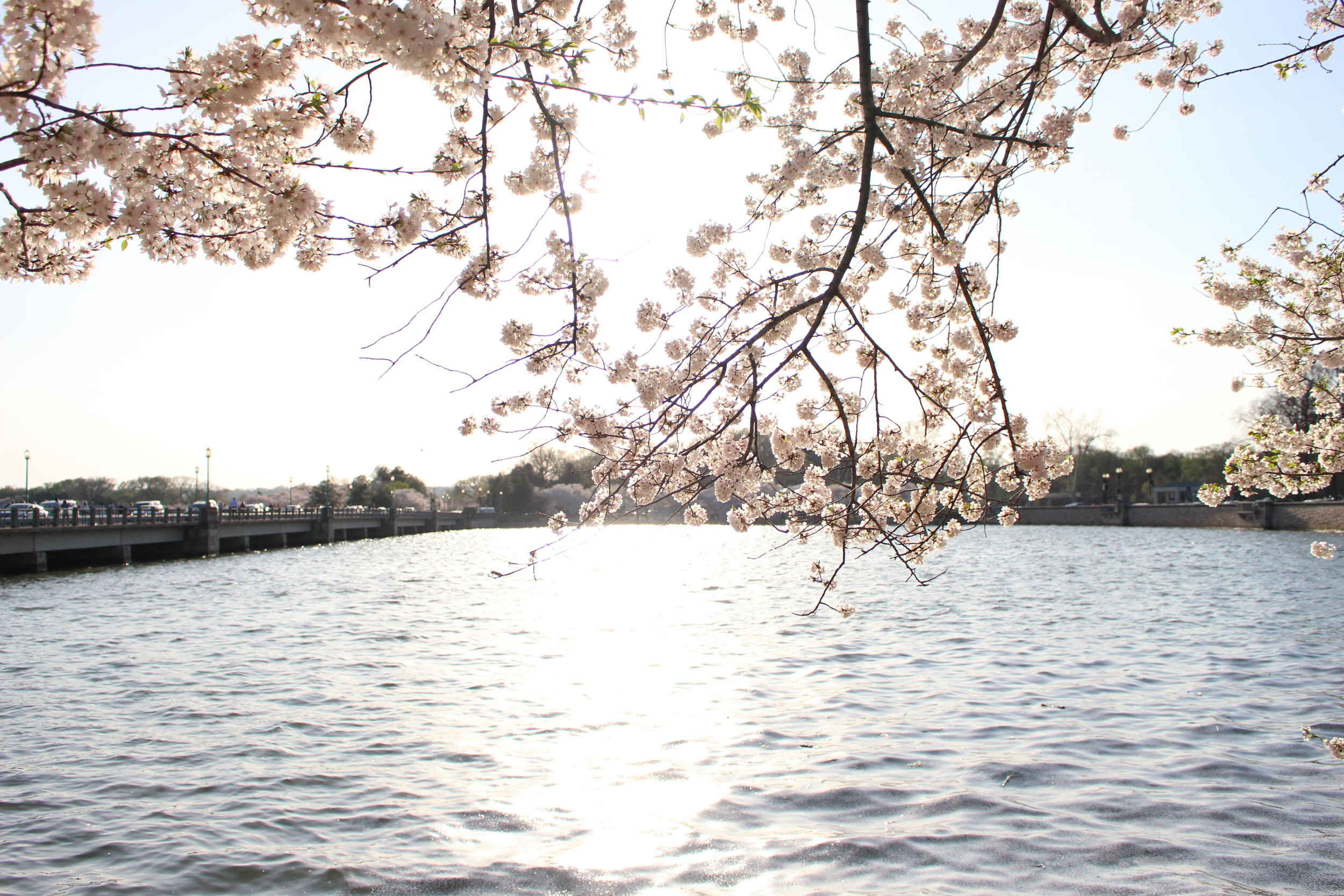 Cherry Blossoms DC 4.13.15 168