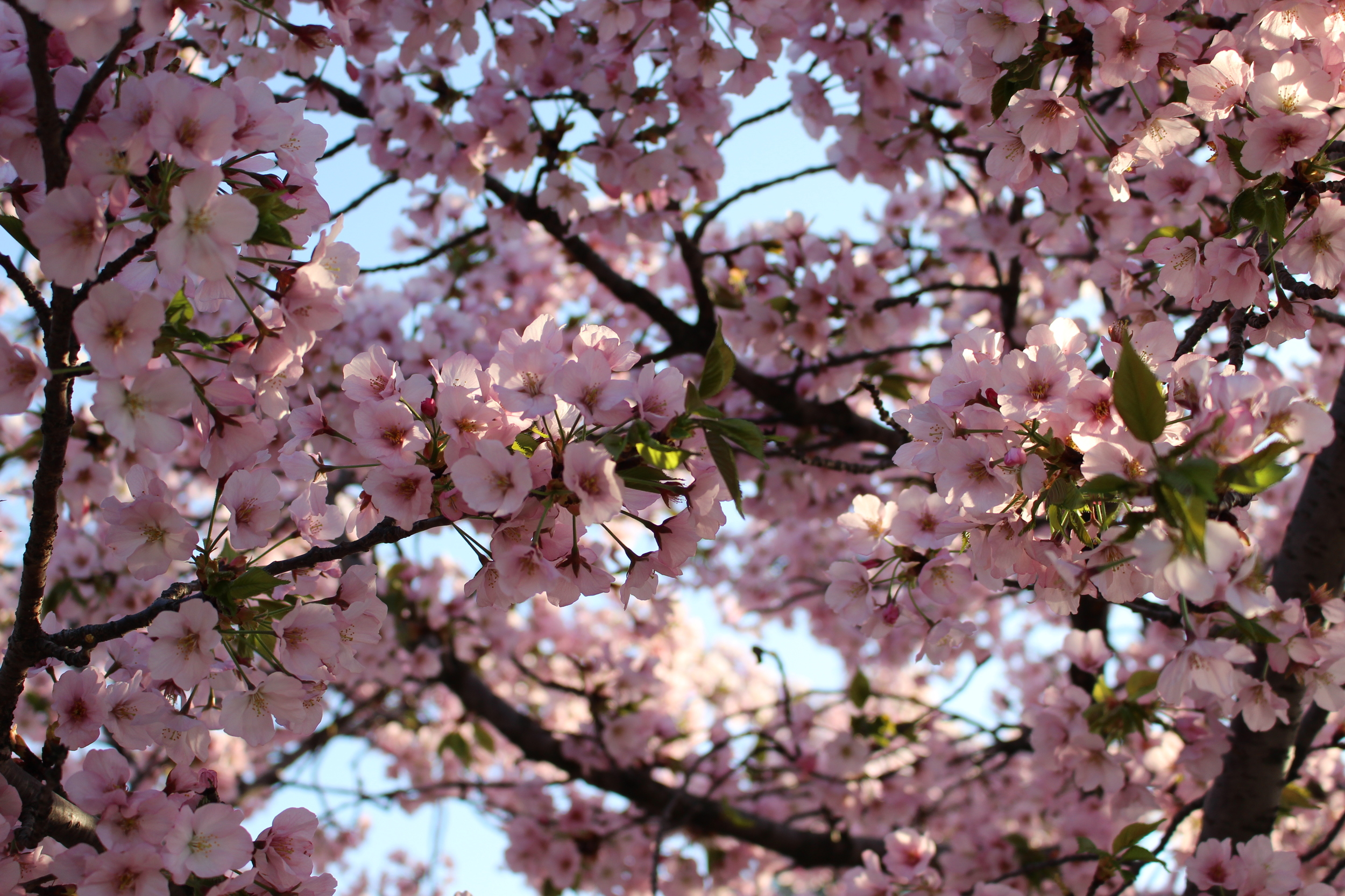 Cherry Blossoms DC 4.13.15 195