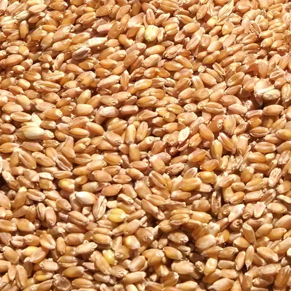 Thresher_threshed_Red_Fife_spring_wheat.jpg