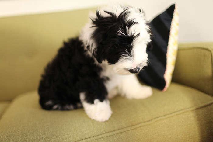 picture of sheepadoodle