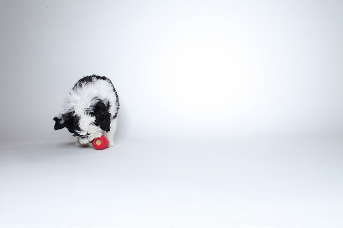 mini_sheepadoodle_02