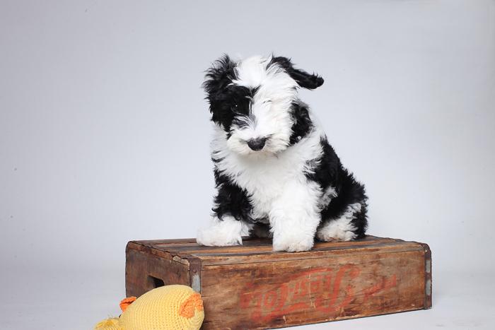 mini_sheepadoodle_04