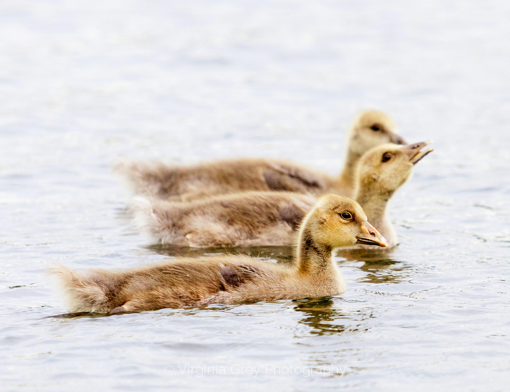 _MG_1588 greylag goslings 2.jpg