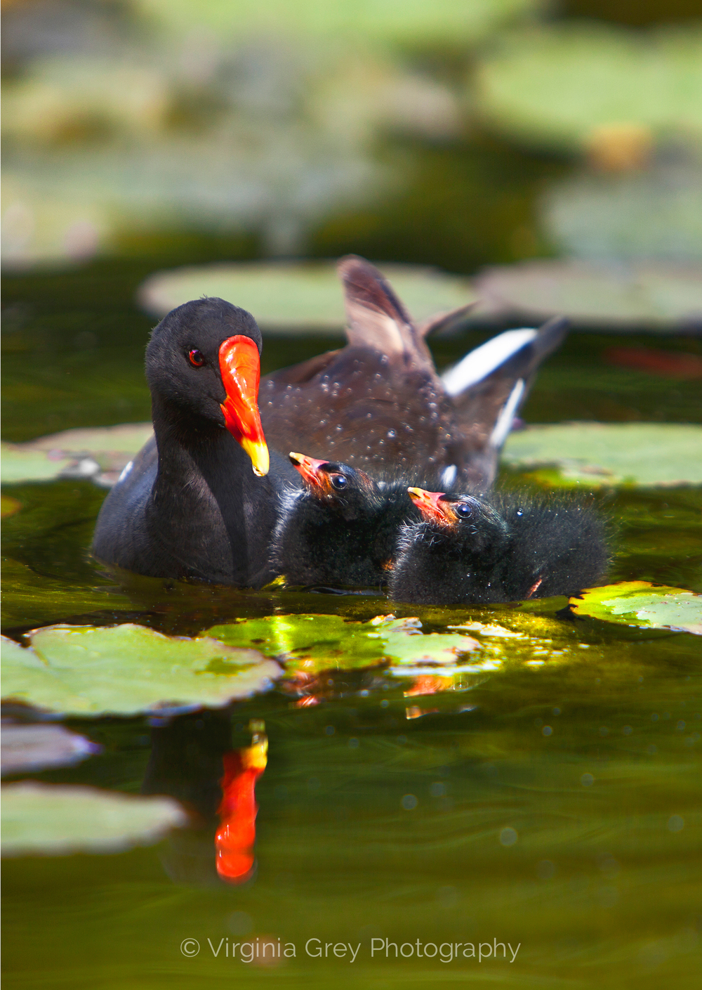 Moorhen chicks 006.jpg