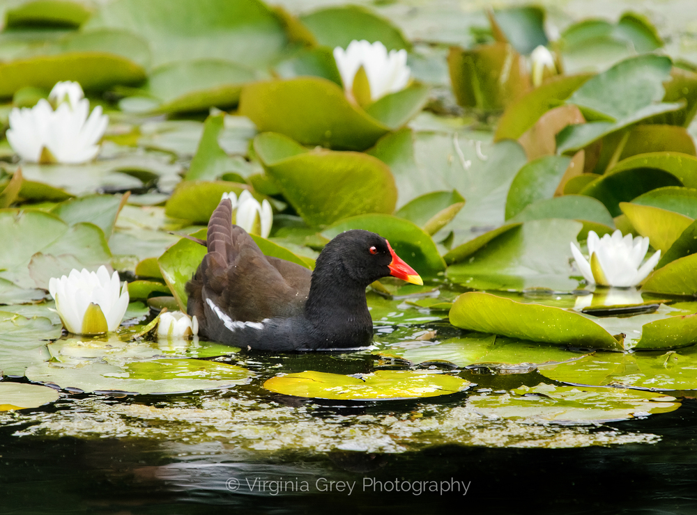 Moorhen in waterlilies IMG_8323 crop n stretch.jpg