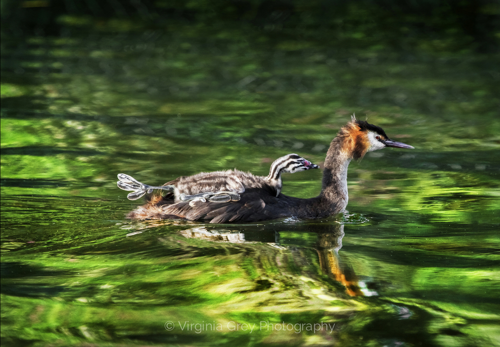 Grebe with big footed chick on back 001.jpg