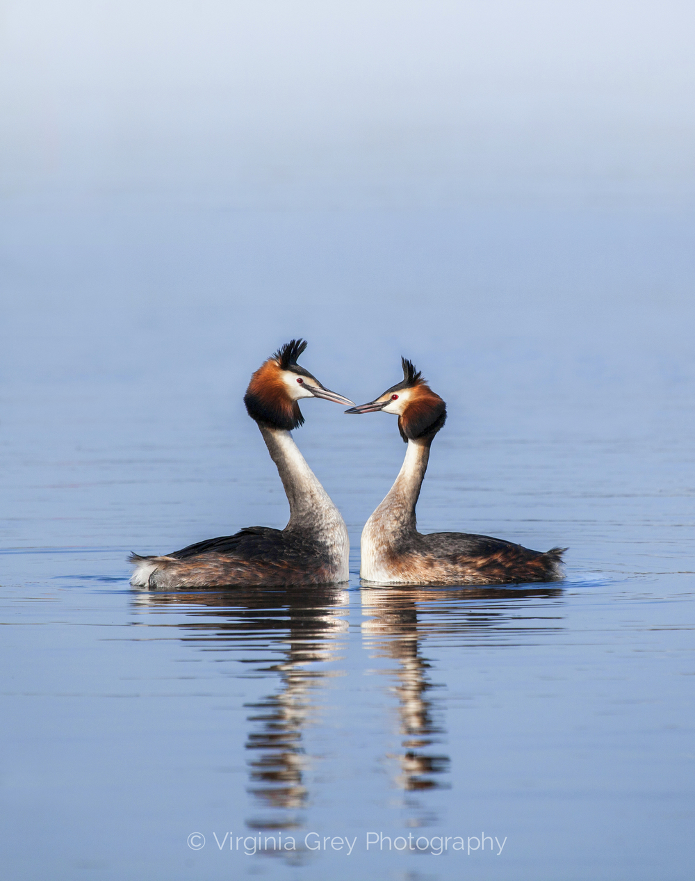A Great crested grebe 024.jpg